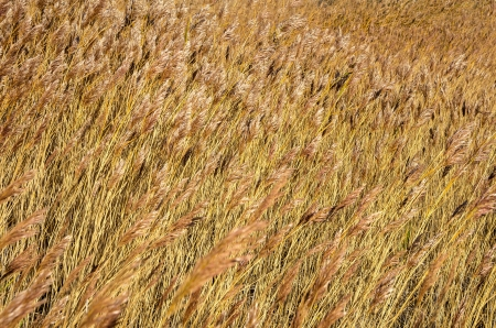 scrub grass: Background of reeds in a strong wind Stock Photo