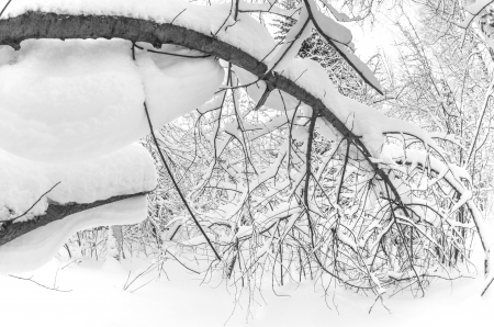 backwoods: Snow covered trees in the backwoods
