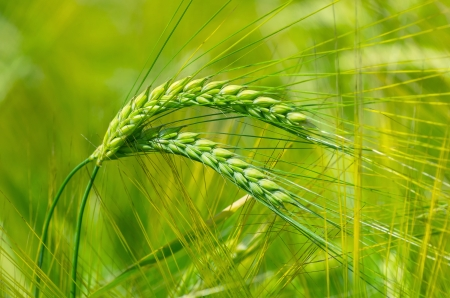 Green ears of barley Stock Photo