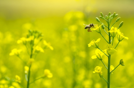 The bee collects honey on a rape flower photo