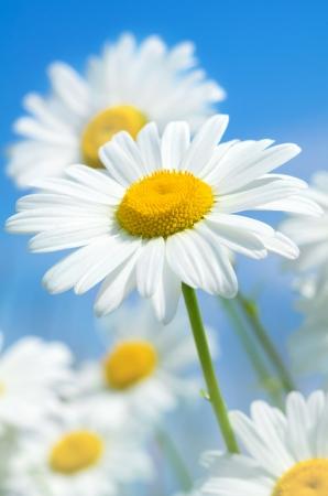 daisy stem: Beautiful daisies and  blue sky Stock Photo