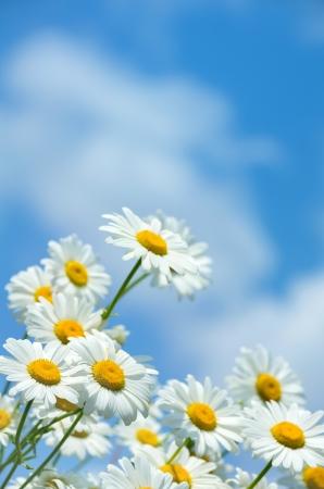 white daisy: Beautiful daisies and  blue sky Stock Photo