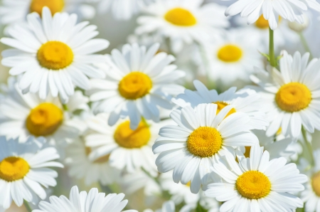 Beautiful background of large daisies