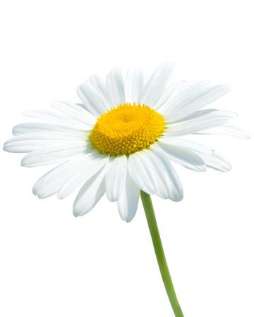 daisy stem: Beautiful daisy isolated on white