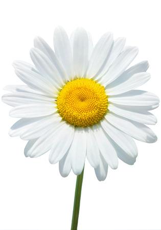 白で隔離される美しいデイジー