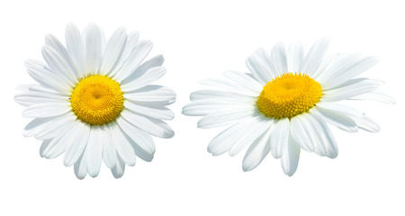 Camomile isolated on white Imagens - 25793067