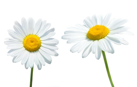 daisy stem: Camomile isolated on white