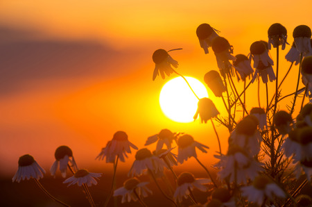 Daisies on a background of a sunset photo