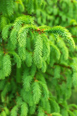 vibrant background: Vibrant background of spruce branches