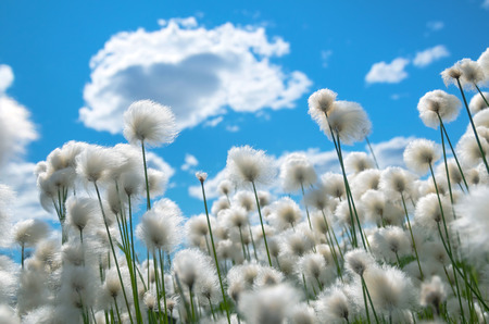 cottonwool: Flowering cotton grass on a background of blue sky Stock Photo