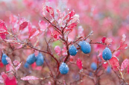 Blueberries in raindrops