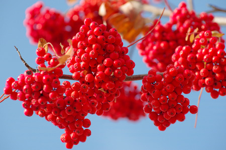 Clusters of a red mountain ash against the sky