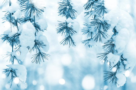 Winter background with snowy pine branches Stock Photo