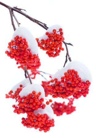 Vogelbeere: Bramkofel Rowan im Schnee. Isoliert auf weißem Hintergrund.