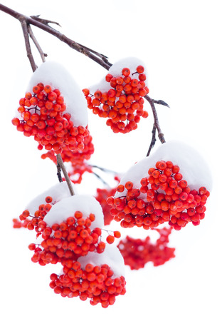 Branch bright rowan in the snow. Isolated on white background. Stock Photo