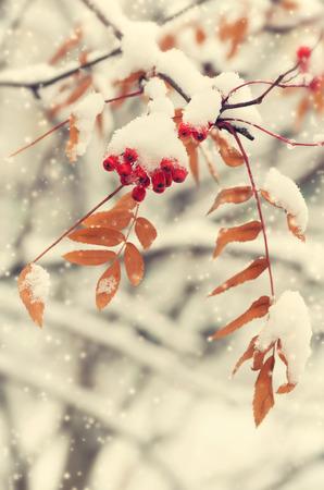 Rowan in the snow Standard-Bild