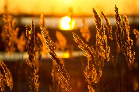 Reed against a colourful decline photo
