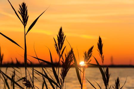 canne: Reed nelle prime ore del mattino sulla riva del fiume