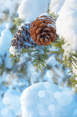 Winter background with pine cones photo