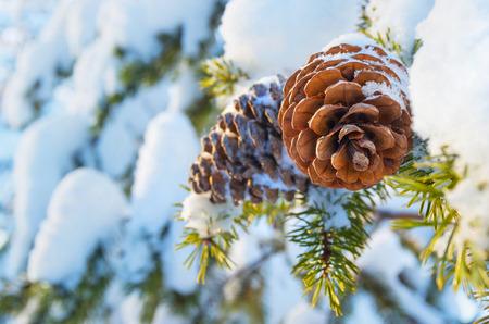 マツ円錐形で冬の背景 写真素材