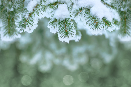 frost covered: Background with snow-covered fir branches