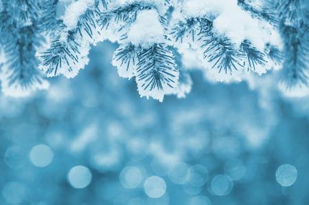 spar: Achtergrond met sneeuw bedekte fir takken Stockfoto
