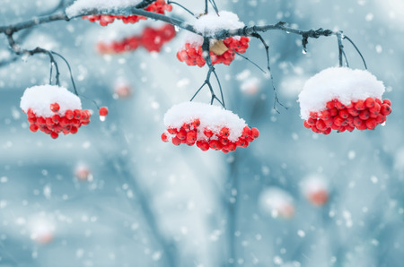 cerrar: Fresno de montaña cubierto de nieve
