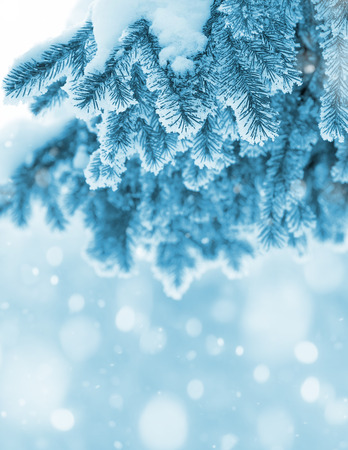 drift: Background with snow-covered fir branches