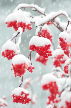 ash: Snow-covered mountain ash