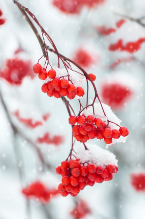 Snow-covered branch of a mountain ash Stock Photo