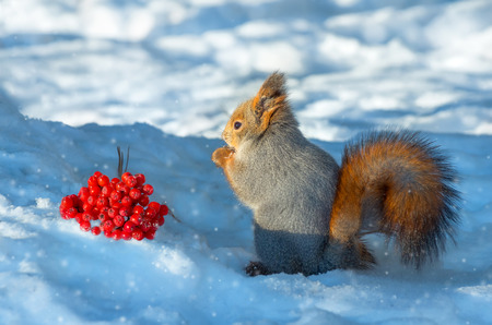 Squirrel in the wood about a mountain ash cluster