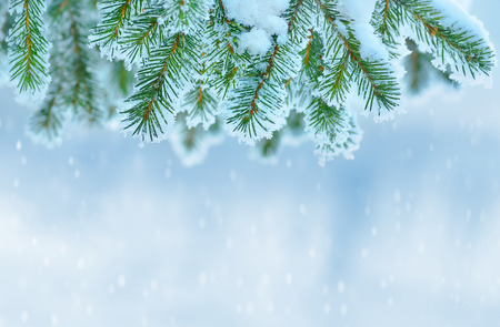 landscape scene: Winter background with snow-covered Christmas tree