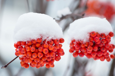clusters: Mountain ash clusters in snow close up Stock Photo