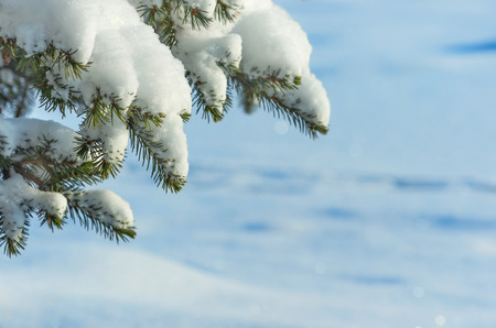 coldly: Winter background with snow-covered Christmas tree