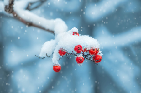 Background with a mountain ash cluster in snow Standard-Bild