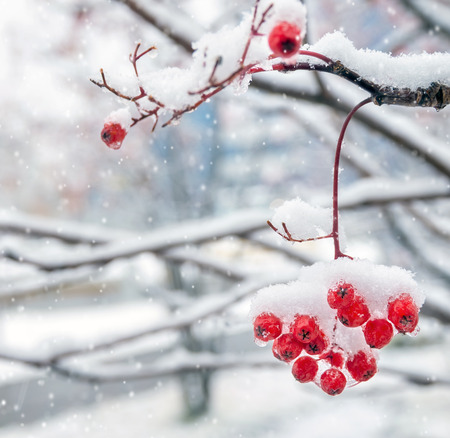 Background with a mountain ash cluster in snow Foto de archivo
