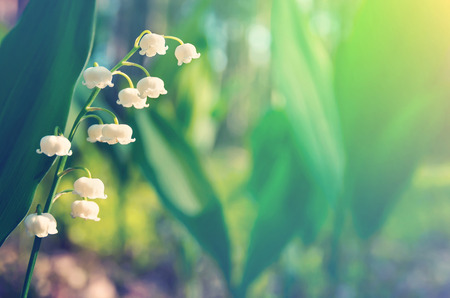 lily of the valley: Blossoming lilies of the valley in a sunny forest Stock Photo