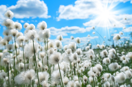 cotton cloud: Flowering cotton grass on a background of blue sky Stock Photo