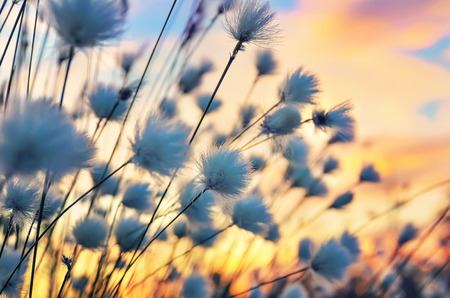 cotton wool: Cotton grass on a background of the sunset sky