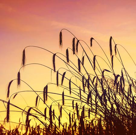 Rye ears against the pre-dawn sky photo