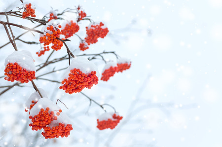 snow crystal: Background with a snow-covered mountain ash Stock Photo