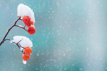 Background with a snow-covered mountain ash 写真素材