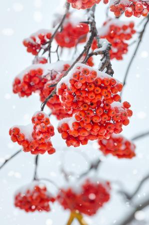 雪のナナカマドの枝 写真素材