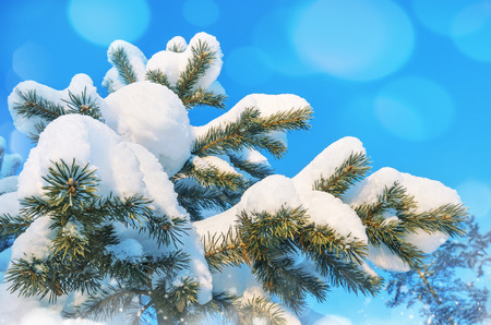 Snow-covered pine tree against the blue sky photo