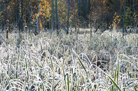 rime frost: Cattail in frost after the first frost
