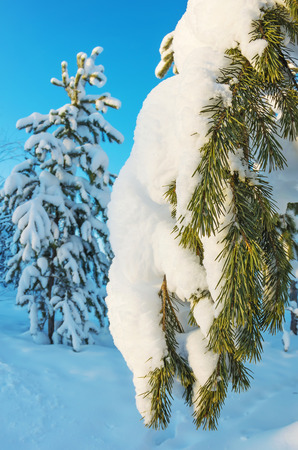 Snowy coniferous branch in the rays of the setting sun photo