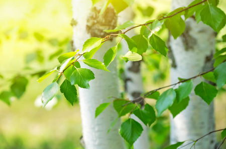 Bright birch branches in the sunlight Stock Photo
