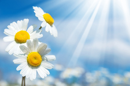 Three daisies on a background of the sky photo