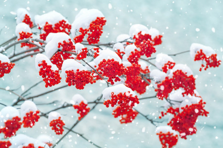 Schneebedeckte Eberesche