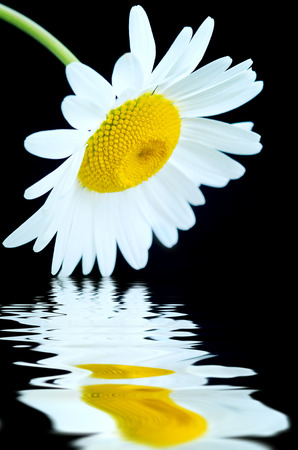 Daisy on a black background with reflection in water photo